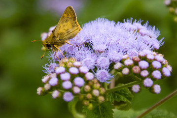 Skipper on Lavender Lace