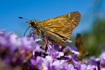 Skipper on Verbena