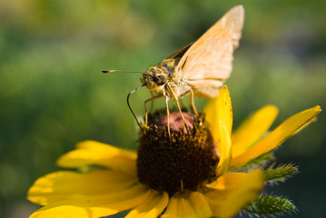 Skipper on Black-eyed Susan