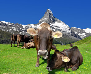Cow in the Swiss Alps