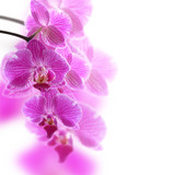 Fototapety Pink Orchids