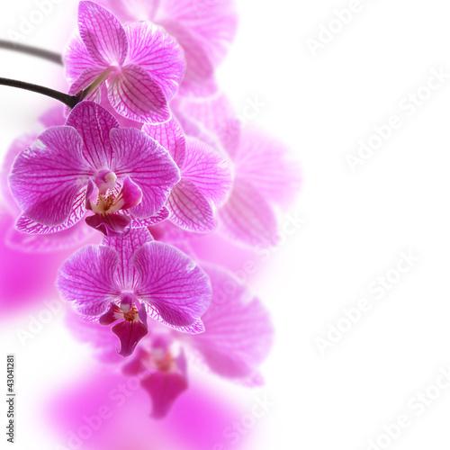 Fototapeten,orchidee,orchidee,phalenopsis,orchidaceae