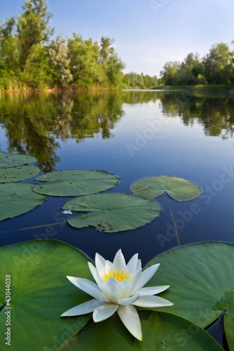 Fotobehang Water planten beautiful white lily on a river