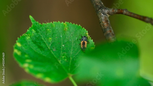 Ladybird larva on the leaf of linden