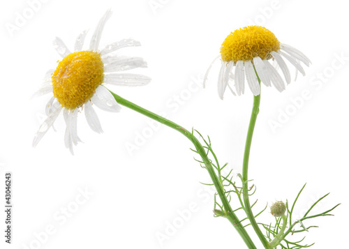 Medical Chamomile isolated on white background