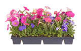 Flat of colorful petunia seedlings ready for transplanting poster