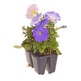Pack of four petunia seedlings ready for transplanting poster