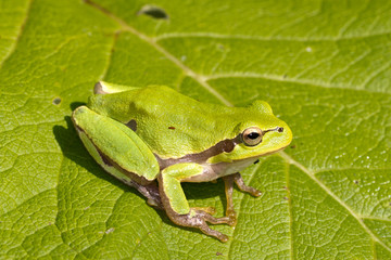 Green Tree Frog on a green leaf close-up  / Hyla arborea