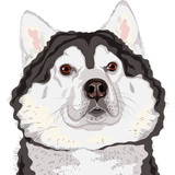 vector closeup portrait of a dog  Alaskan Malamute breed