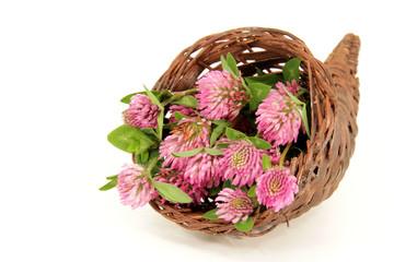 Wiesen-Kleeblüten (Rotklee) im Füllhorn