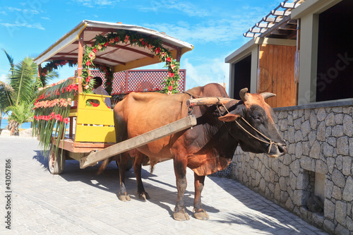 bull carriage in Seychelles