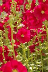タチアオイ Althaea rosea‐‐