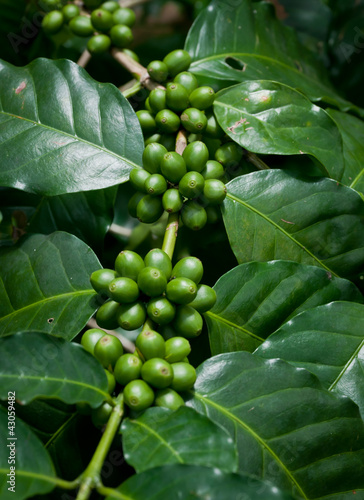 coffee beans .|43059482