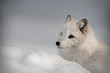 An Arctic Fox in its' winter coat...Looking left