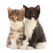 Two Kitten on white