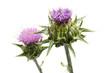 Mariendistel (Silybum marianum) Detail von Blüten