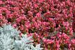 różowa drobna begonia