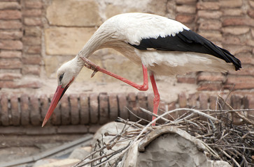 Stork perched on a roof scratching his neck