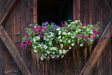 Bunte Petunien (Petunia) an einem Fenster in Südtirol, Italien