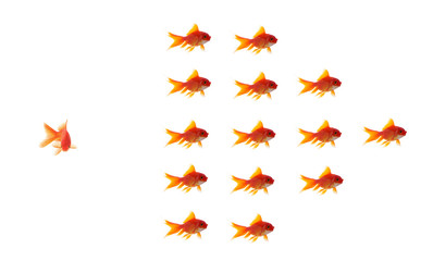 goldfish leader on white background, unique and diffrent busines