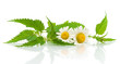 nettles and daisies on a white background