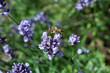pszczoła na lawendzie