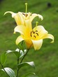 yellow lilly folwer