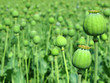 Opium poppy with field out of focus in background.