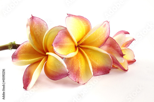 Frangipani flower beautiful on white background