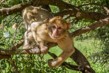 Macaque dans les arbres