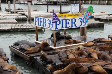Seelöwen am Pier 39 (Fisherman's Wharf) in San Francisco