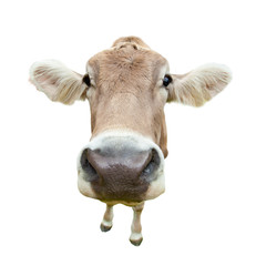 Funny cow head isolated on white background