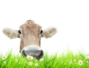 Cow head in meadow