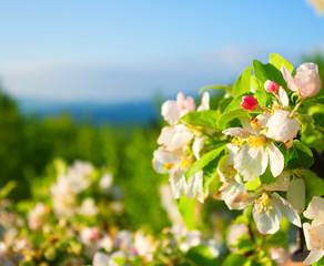 flowering apple tree in mountain