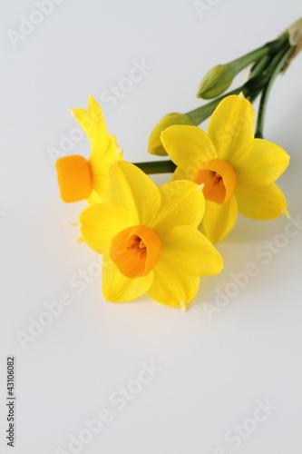 Fotobehang Narcis 早春の水仙Narcissus