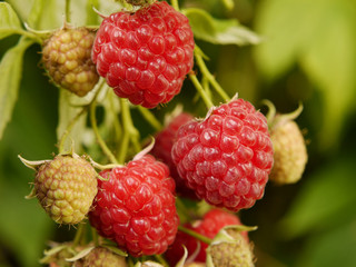 """Himbeere (Rubus idaeus), Herbsthimbeere """"Autumn Bliss""""."""
