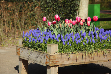 Flowerbed of pink tulips and grape hyacinths Muscari.