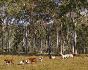 Australian Rural Scene Gum Trees and Cows