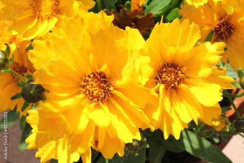 gelbe sommerblumen von bofotolux lizenzfreies foto 43115083 auf. Black Bedroom Furniture Sets. Home Design Ideas