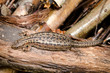 sunbathing lizard from above, wood logs