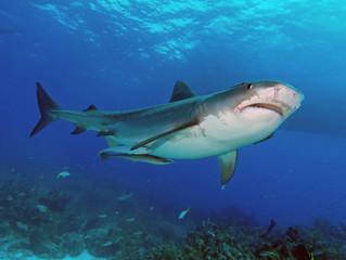 Tiger shark upshot