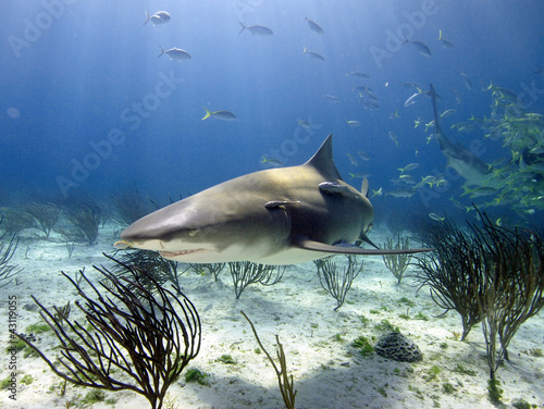 Lemon shark in sun rays