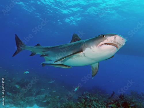 Papiers peints Tigre Tiger shark upshot