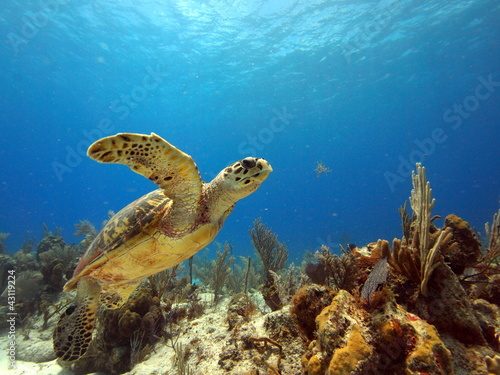 Foto op Canvas Schildpad Hawksbill lift off