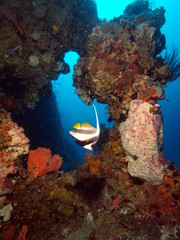 Bannerfish on Pemba wall
