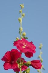 タチアオイ ‐Althaea rosea‐