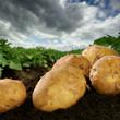 Freshly dug potatoes on a field