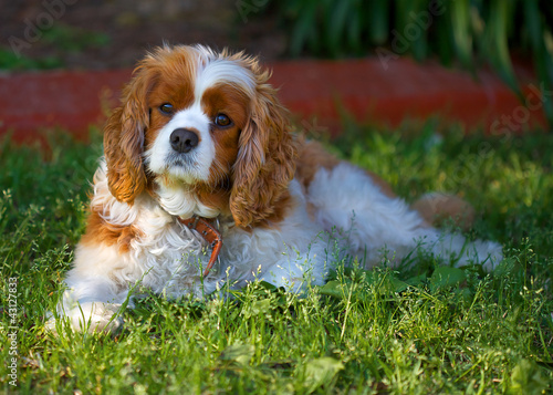 Spaniel lying on the grass