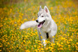 siberian husky puppy walking on the field