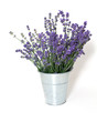 lavender isolated on white background